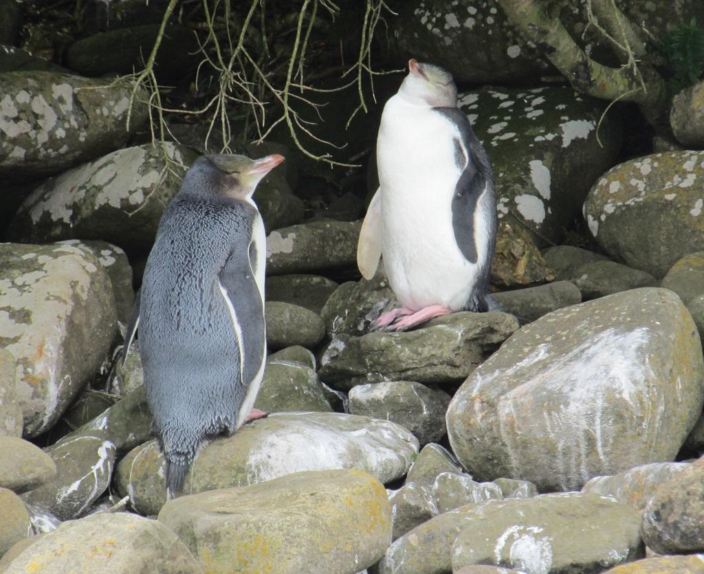 Pinguin ahoi